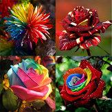 Flower Seeds Combination Rainbow Rose Chrysanthemum Meteor Shower Rose Home Garden Seeds