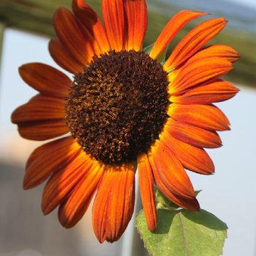 15pcs DIY Sunflower Flower Seeds Garden Planting